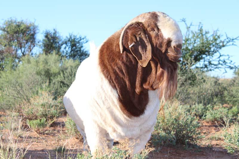 karsten-goats-0003