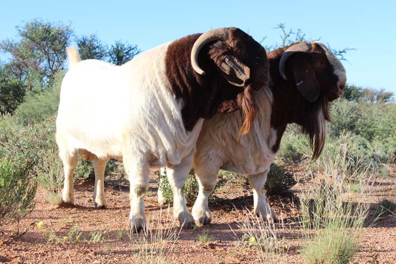 karsten-goats-0004