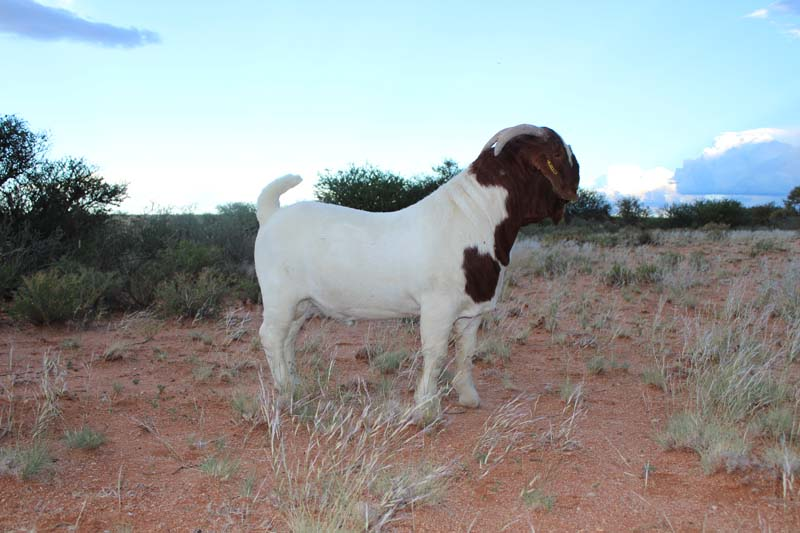 karsten-goats-0006