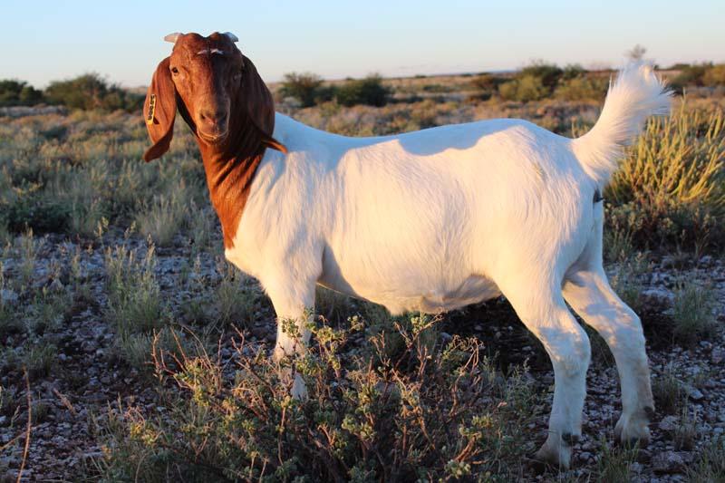 karsten-goats-0016