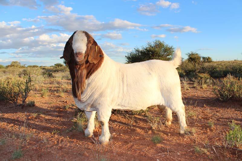 karsten-goats-0028