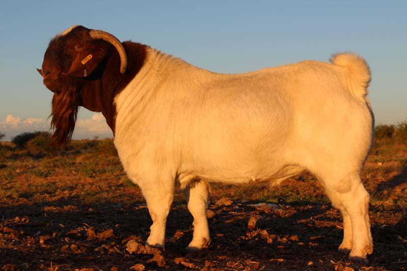karsten-goats-0036