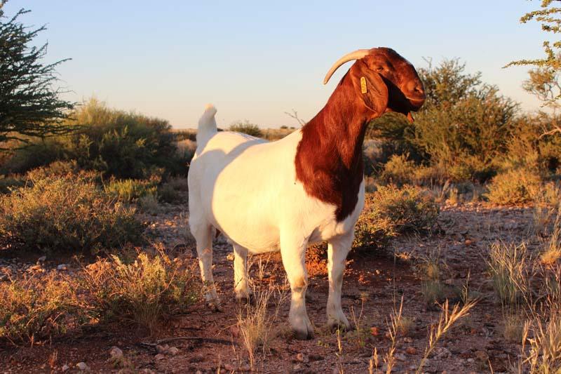 karsten-goats-0043
