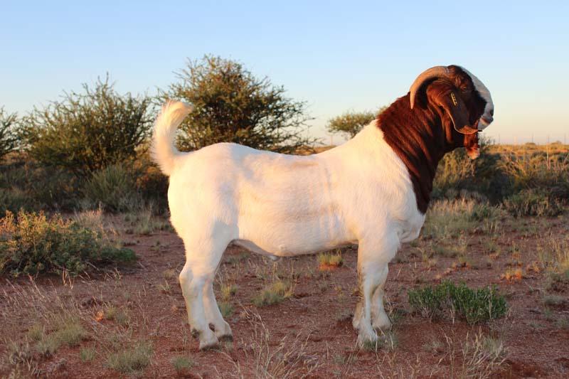 karsten-goats-0051