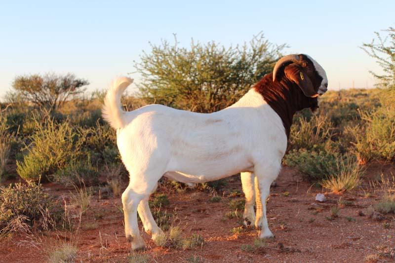 karsten-goats-0052