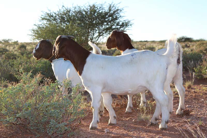 karsten-goats-0055